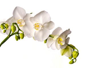 White orchid isolated on white background / Phalaenopsis