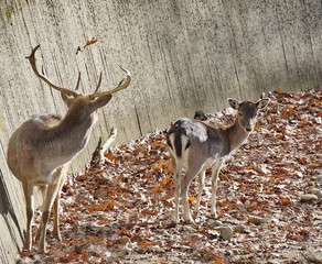 Deer stags and does in zoo