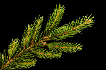 Fresh green fir branch isolated on black background