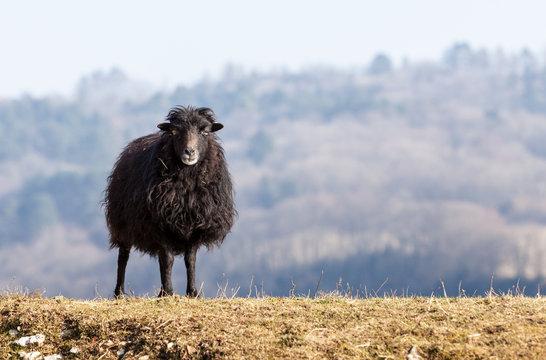 Black Domestic Sheep