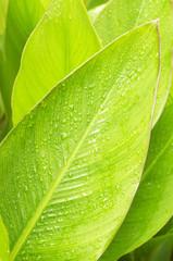 Rain drops on green leaves