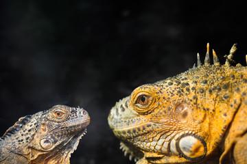 two lizard closeup