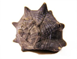 Sea Shell on white