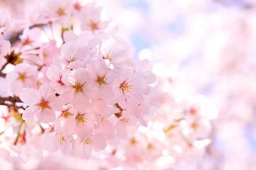 Autocollant pour porte Fleur de cerisier 桜