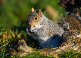 Grey Squirrel with hazelnut