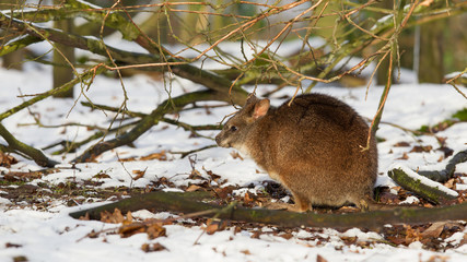 Parma wallaby in the snow