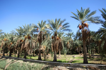 An oasis of date palms