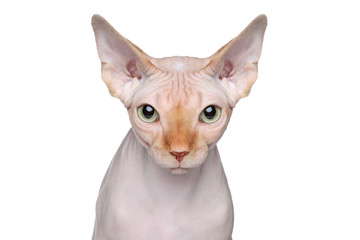 Wall Mural - Sphynx cat portrait on white background