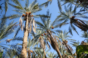 Dates palms forest
