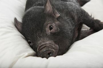 a cute little black pig lie on a white pillow