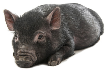 one little black pig isolated on a white background