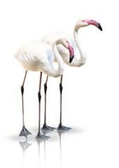 Flamingo - Paar