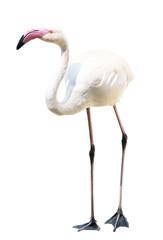 Flamingo auf weißem Hintergrund
