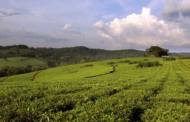 Uganda Tea Plantation