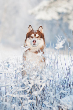 dog siberian husky portrait in winter