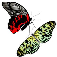 butterfly insects pachliopta aristolochiae idea leuconoe