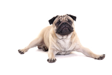 cute pug dog lying over white