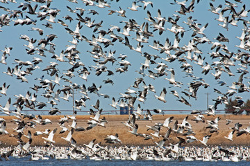 Wall Mural - Snow Geese