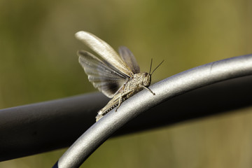 Grasshopper color image