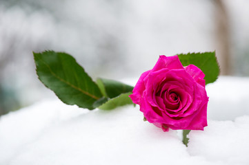 Pink rose in the snow