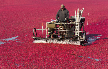 Fruit Harvest In Cranberry Bog Abundant Farmer on Farm