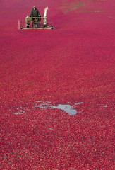 Farmer Working Cranberry Bog At Produce Harvest Time