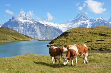 Wall Mural - Cows in the Alpine meadow. Jungfrau region, Switzerland