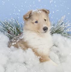 Winter Collie Puppie