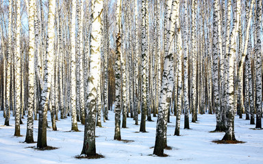 Keuken foto achterwand Berkbosje Sunny snow birch grove in december
