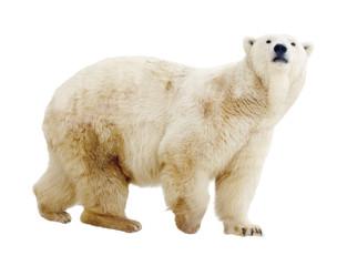 Printed roller blinds Polar bear polar bear. Isolated over white
