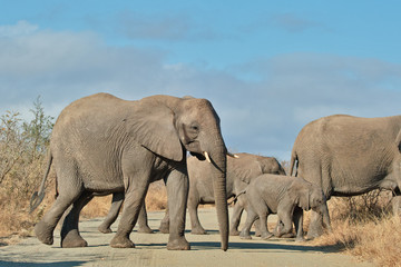 Elephant herd crossing road, South Africa