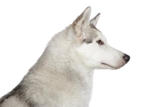 Husky dog profile portrait