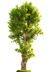 London plane tree in grass