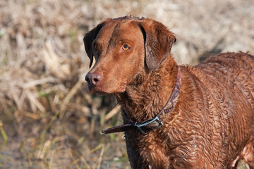 Fototapete - Chesapeake Bay Retriever