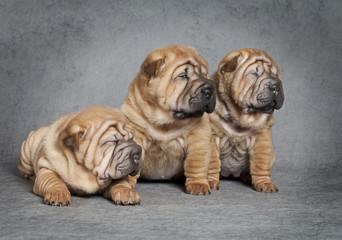 Portrait of sharpei puppies