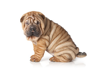 Portrait of sharpei puppy dog