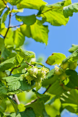 detail of hazelnut bush with hazlnuts