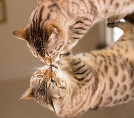 Orange brown bengal cat reflecting in mirror