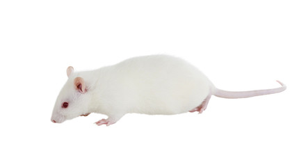 Laboratory white rat Strain Sprague Dawley