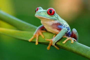Fotobehang Kikker Red-eyed treefrog (Agalychnis callidryas)