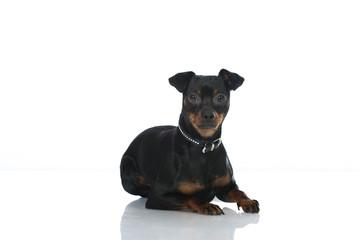 Miniature pinscher dog - Zwergpinscher