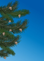 pine branches on blue background