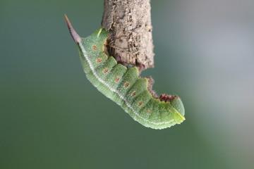 chenille papillon paon