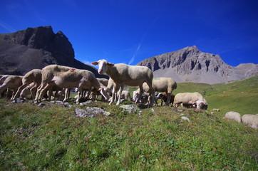troupeau de moutons à l'alpage