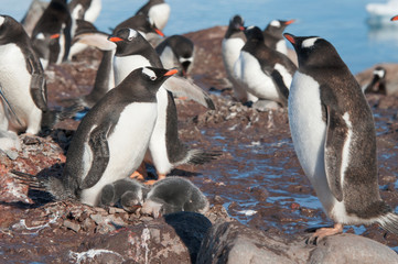 Gentoo penguins and icebergs