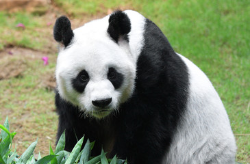 Fototapete - Giant panda