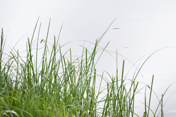 blades of green summer grass on a white background