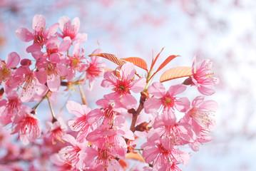 The beautiful Thai Sakura at Khun-Chang-kien ,Thailand