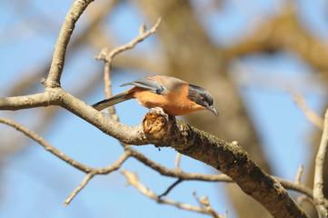 ヒマラヤの鳥 セアカウタイチメドリ