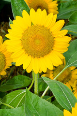 Close up of yellow sun flower
